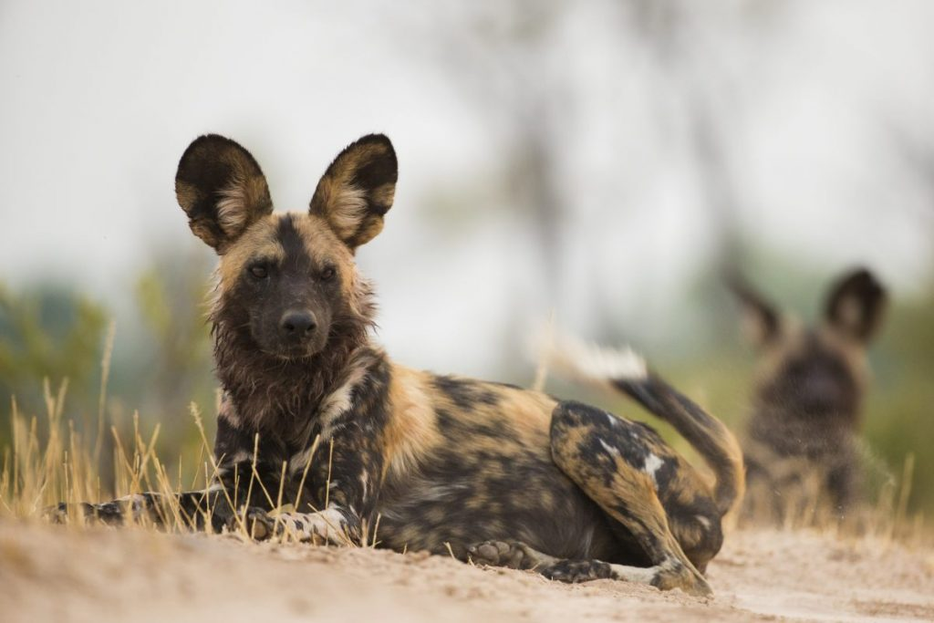wild dog famous endangered species