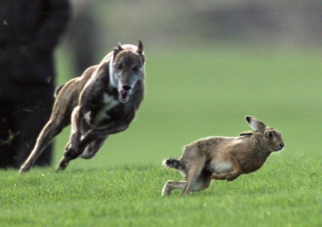 Fastest Animals hare