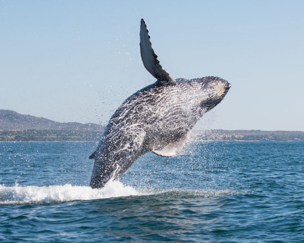 whale Santa Barbara