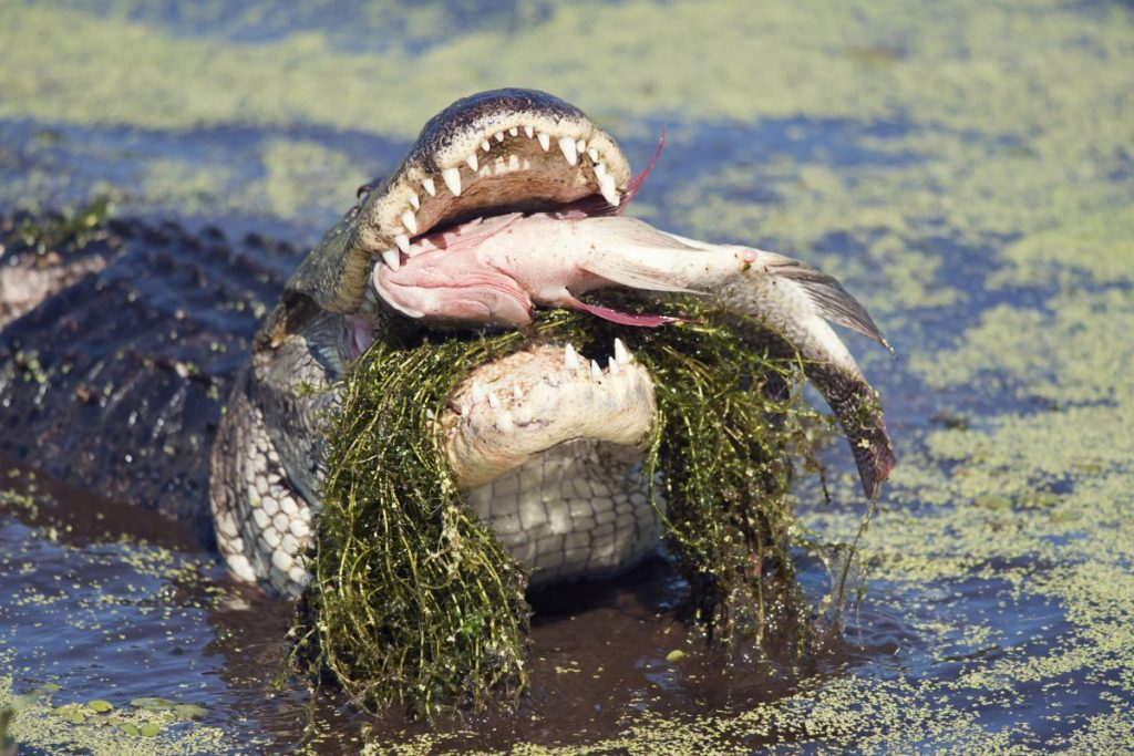 alligators eat