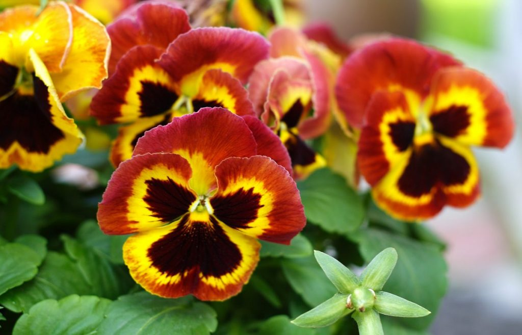 health benefits of pansies