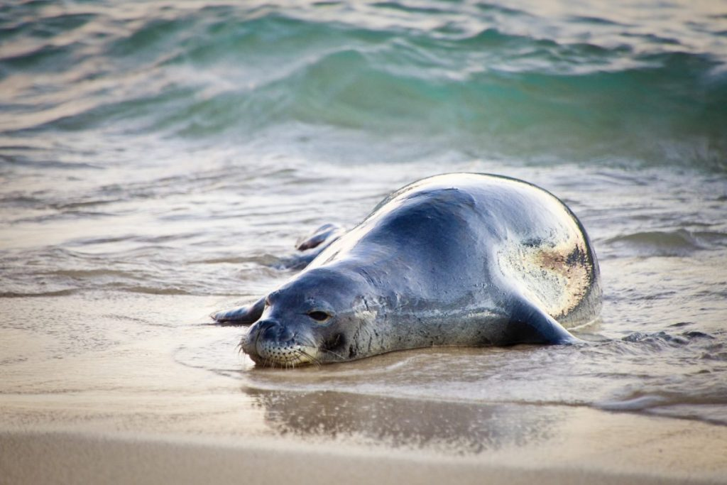 extinct monk seal