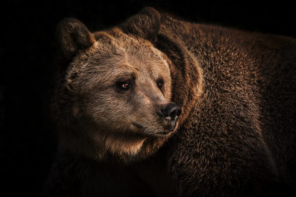 extinct grizzly