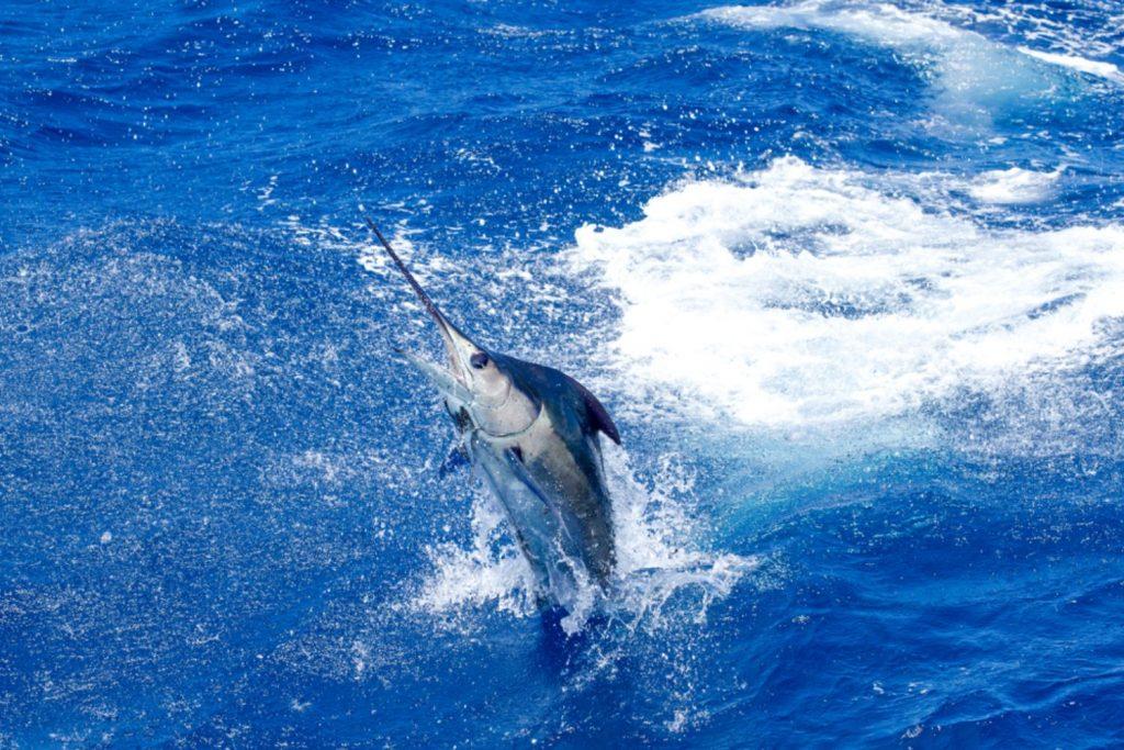 marlin Fastest Animals
