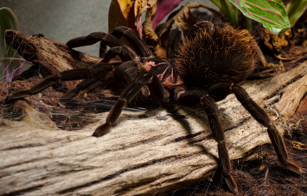 tarantulas biggest spiders