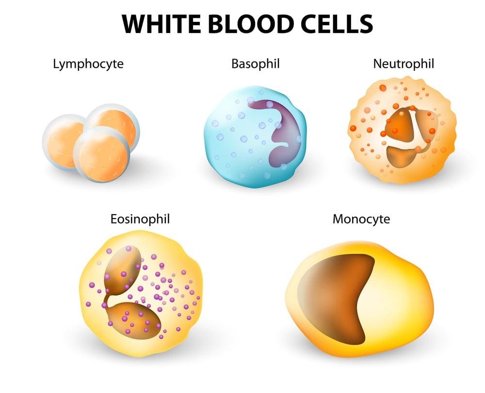 white blood leukocytes in urine