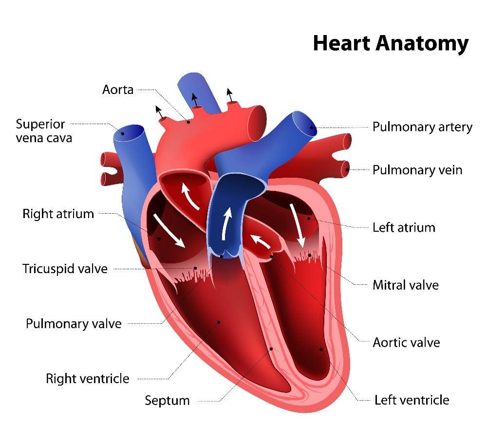 Ventricular tachycardia heart