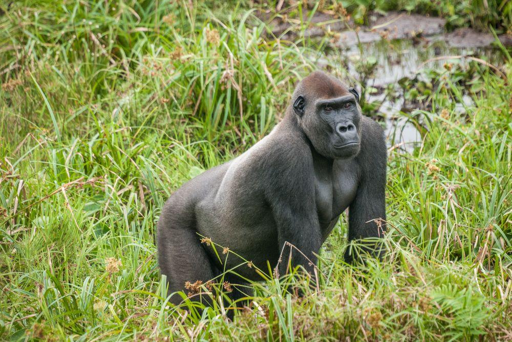 gorilla famous endangered species