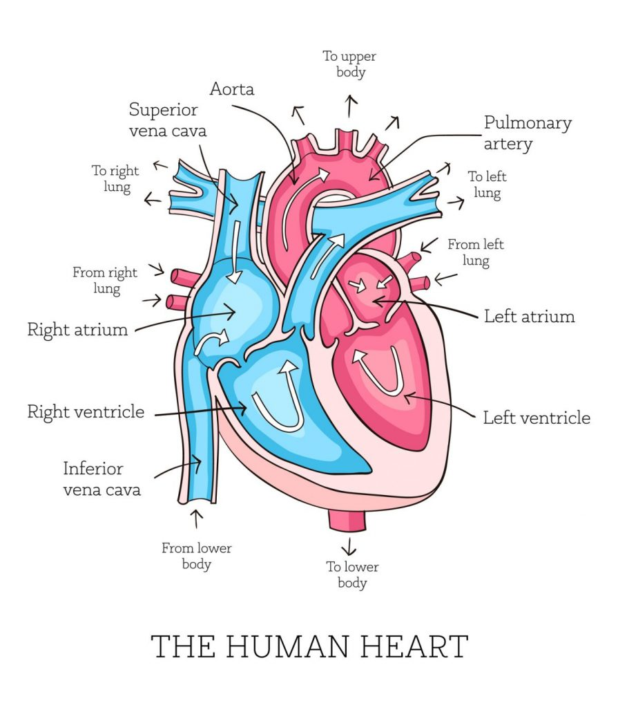 heart valves Aortic valve insufficiency