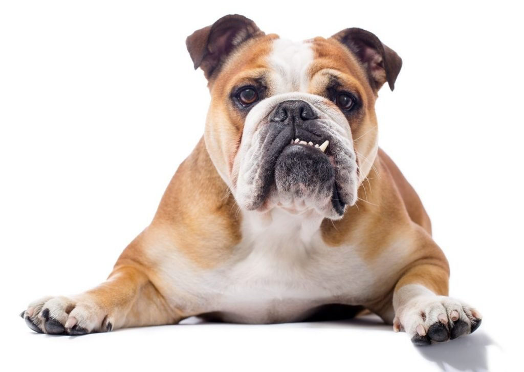 bulldogs popular dog breeds