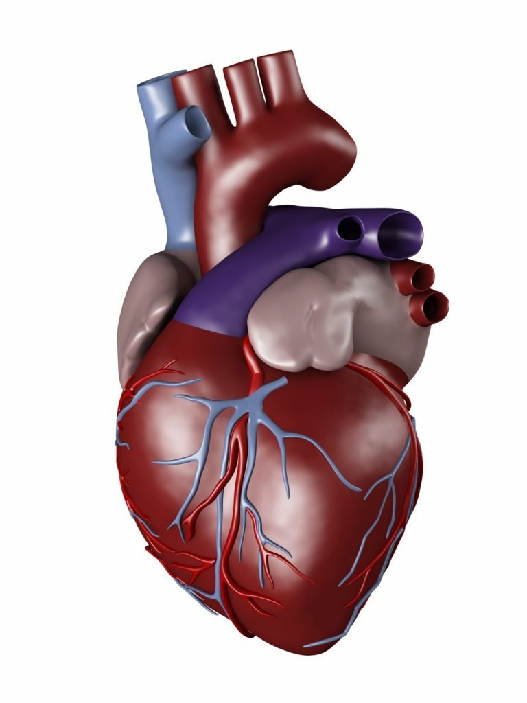 main structures the heart