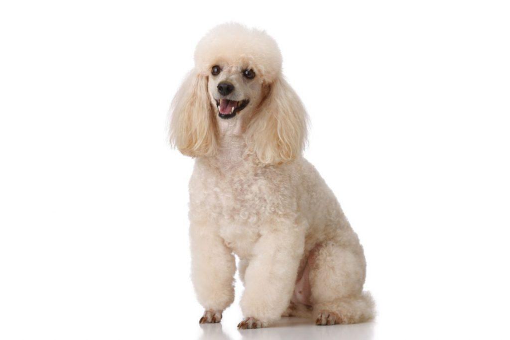 poodle popular dog breeds