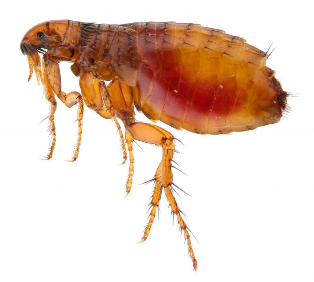 fleas The Black Plague