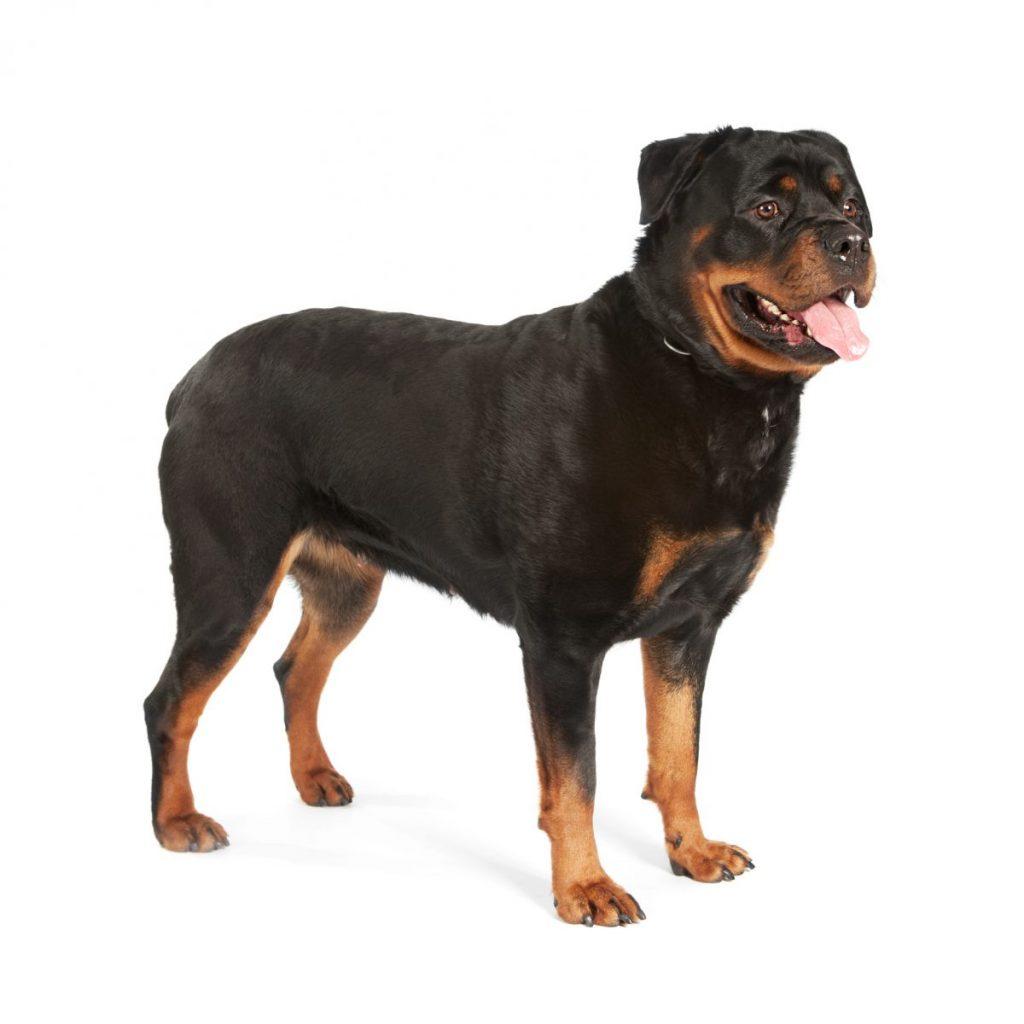 rottweiler popular dog breeds