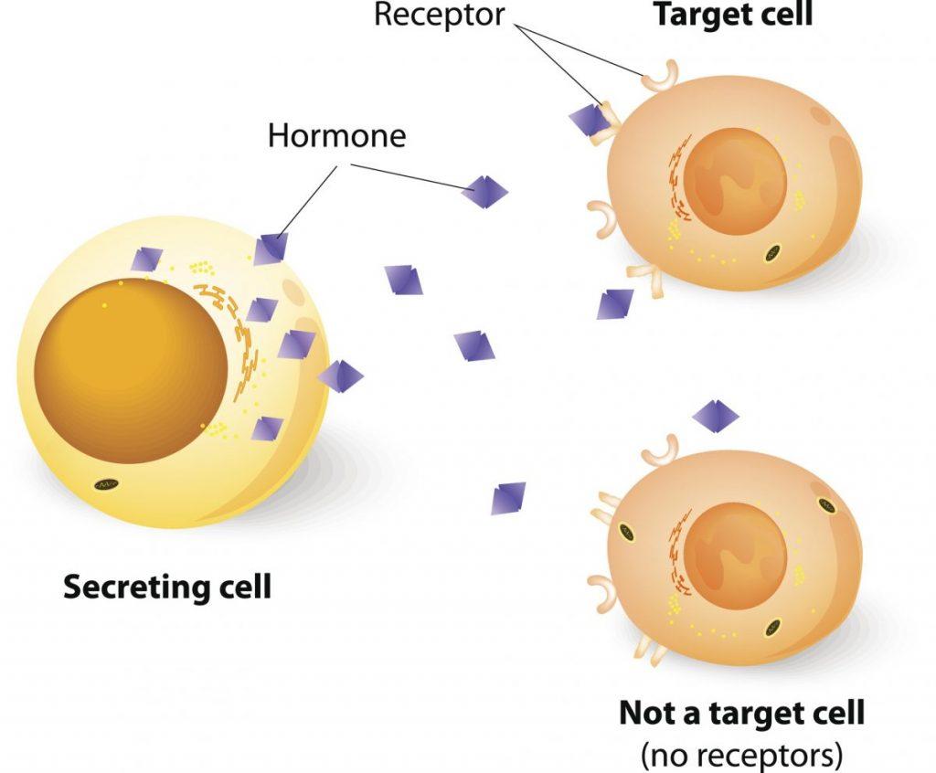 endocrine system cells