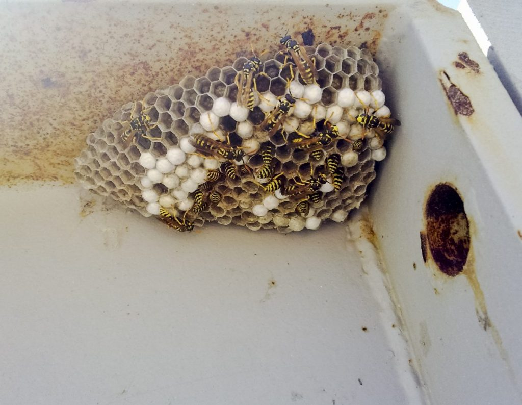 wasp stings dangerous