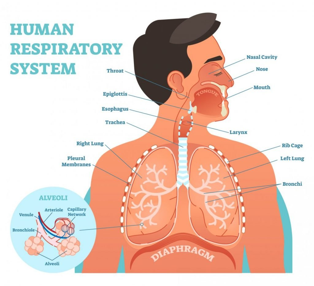 what is the respiratory system