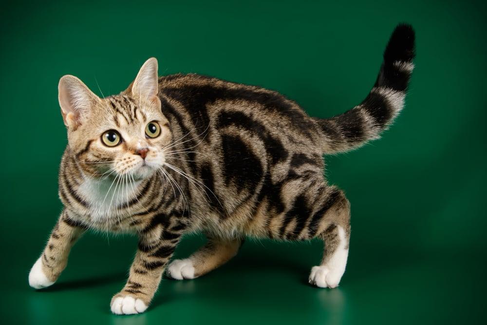 short hair cat breeds