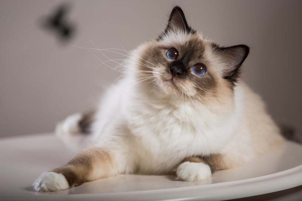birman cat breeds