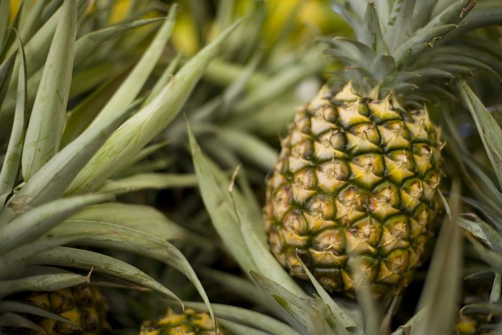 healthy pineapple plant