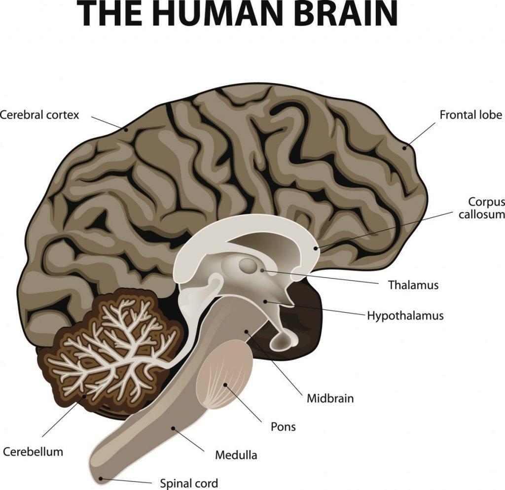 brain the brainstem
