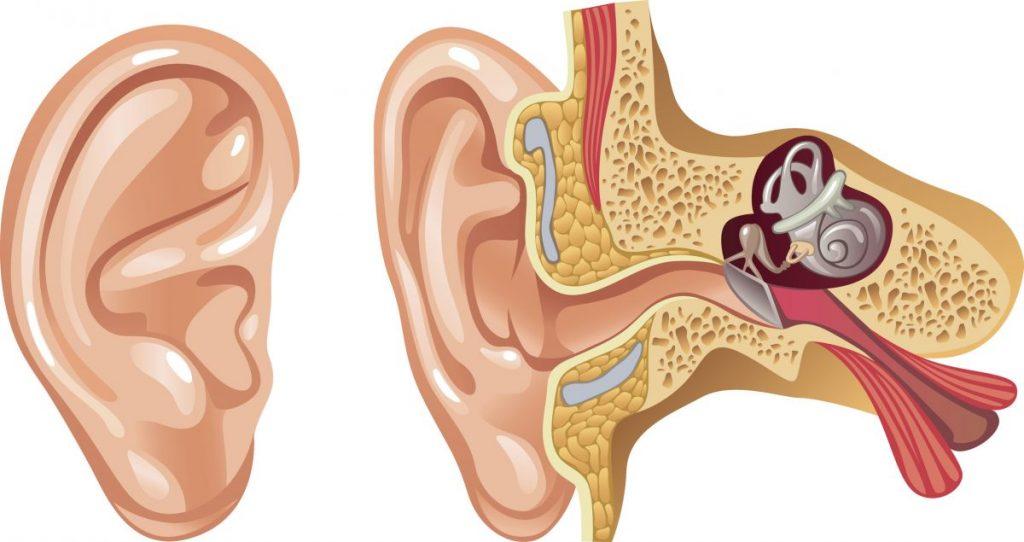 cochlea inner ear