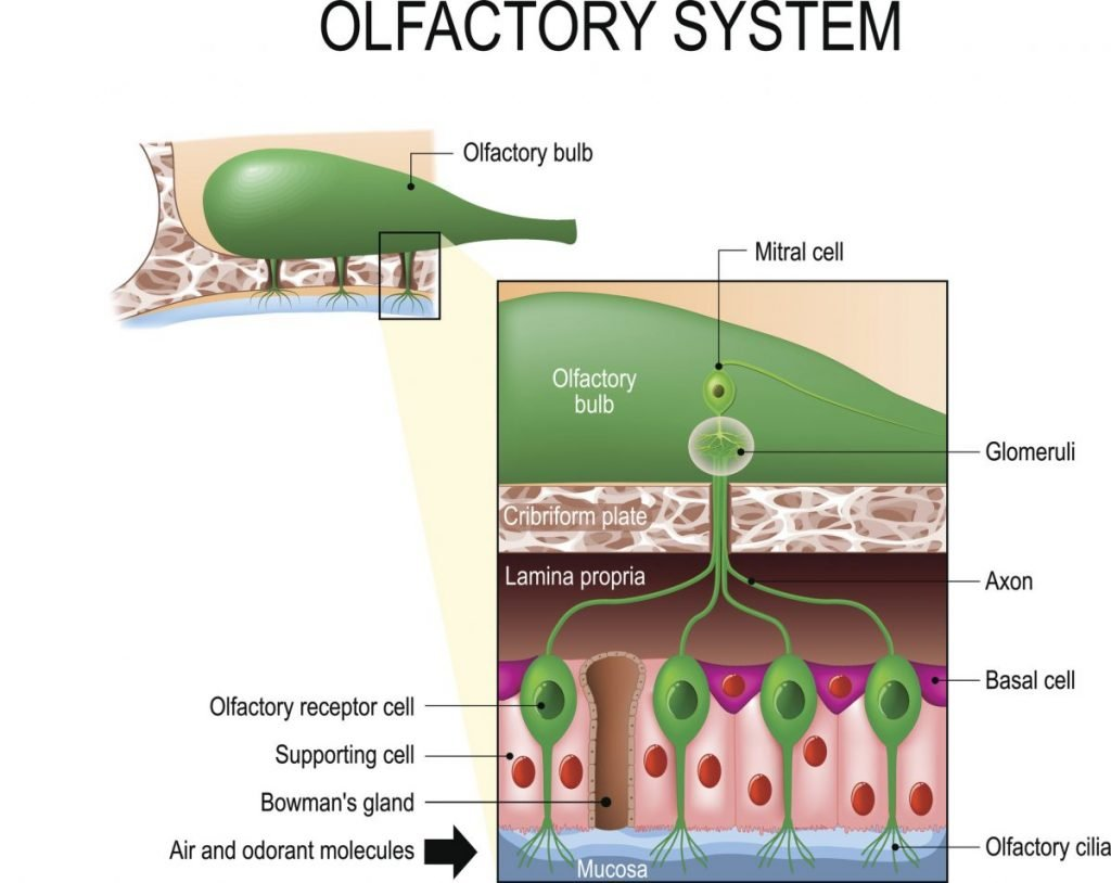 smells olfactory system