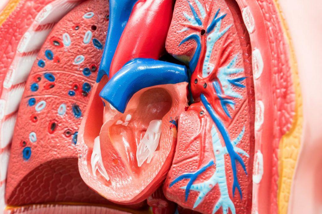 elastic artery
