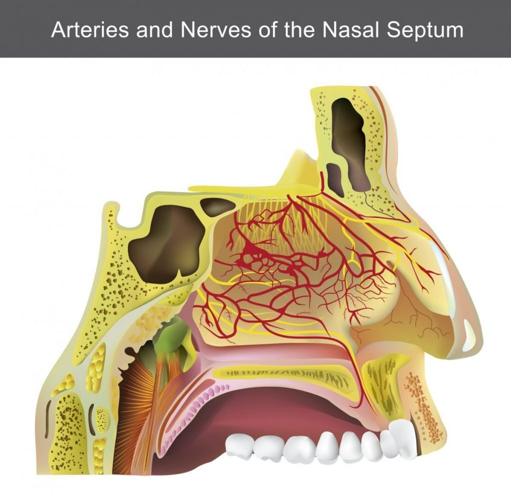 arteries olfactory system