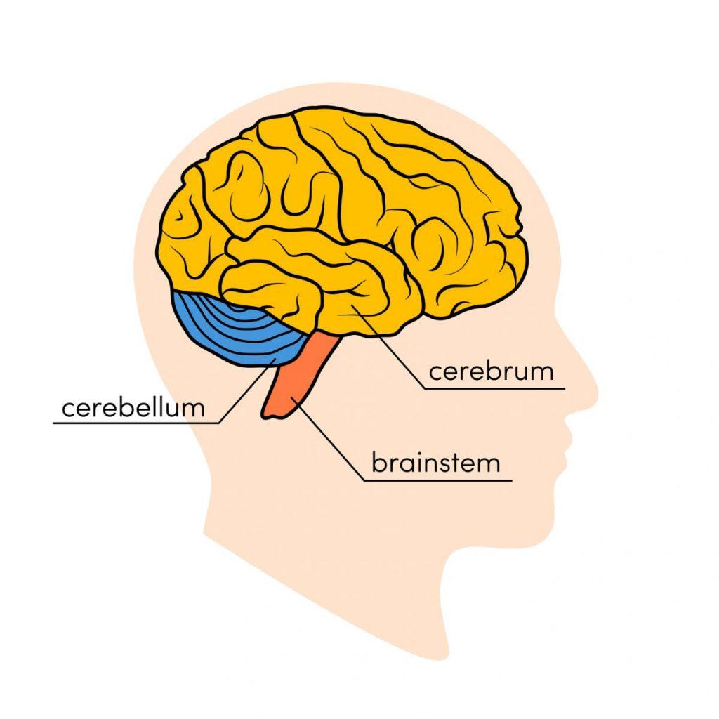 functions brain