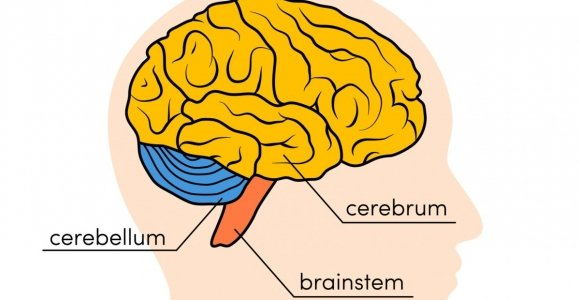 The Parts of the Brain