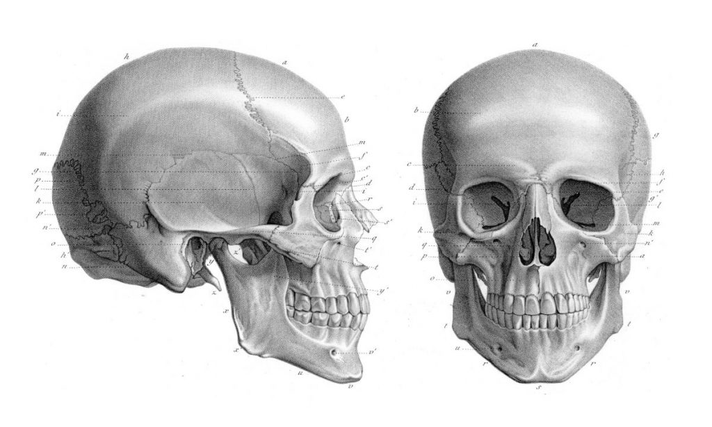 human skull parts