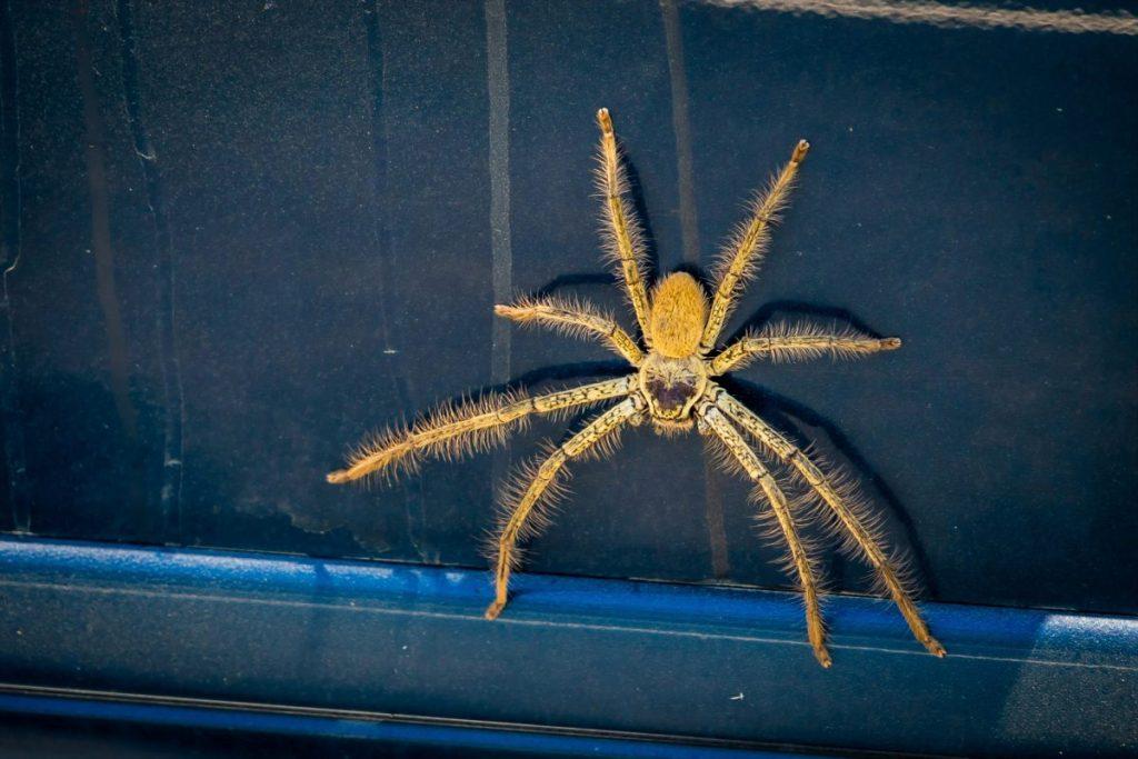 humans Huntsman Spider