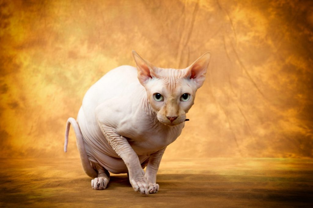 hairless cats Sphynx Cats