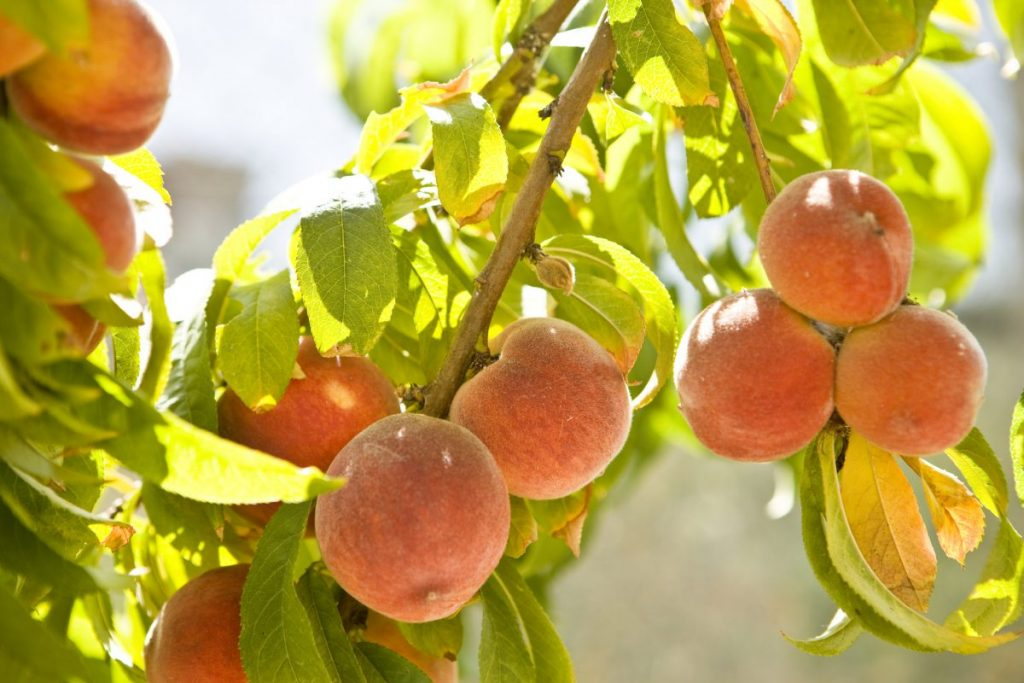 fruit pear allergies
