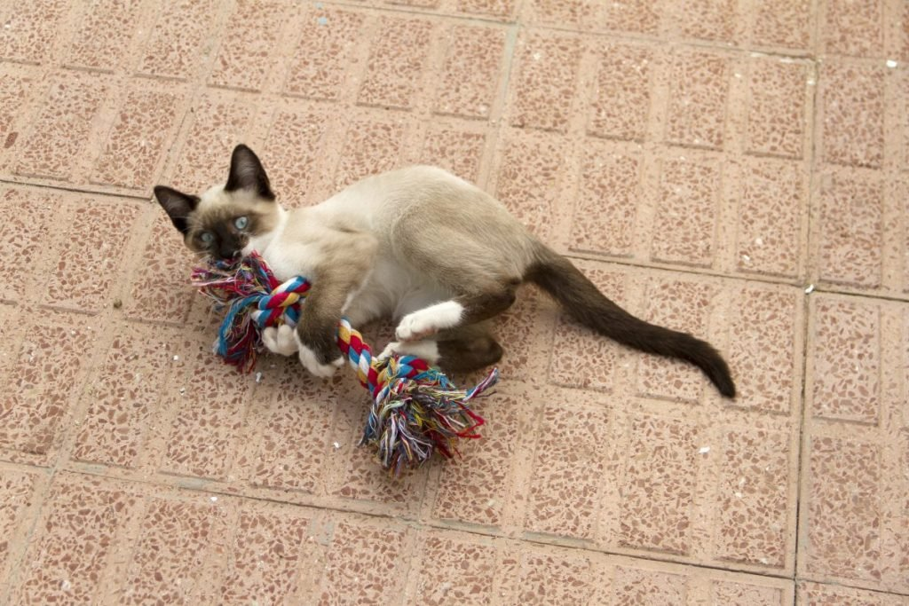 training a Siamese cat