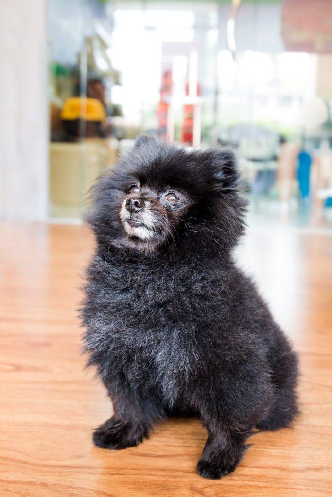 healthy lives German Pomeranians