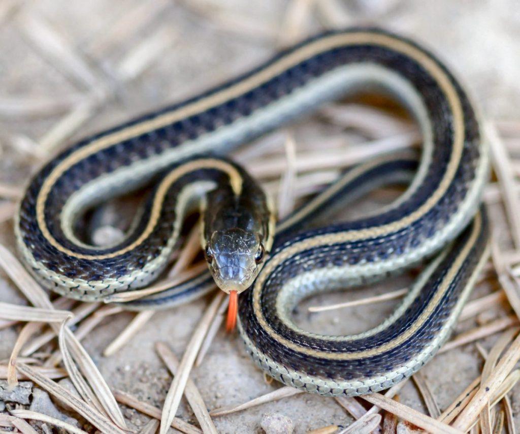 appearance Garter snakes
