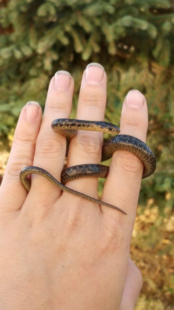 reproduction Garter snakes
