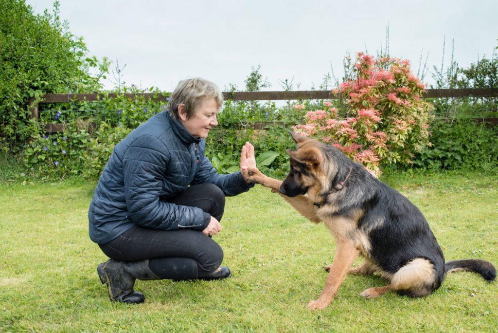 friendly German shepherd