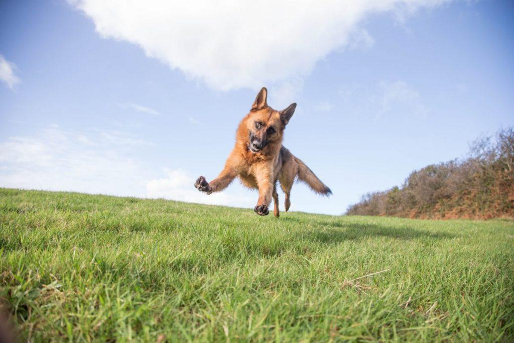 playful German shepherd