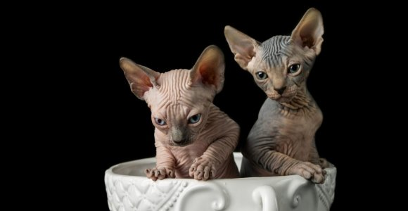 What Are the Positive and Negative Qualities of Sphynx Cats?