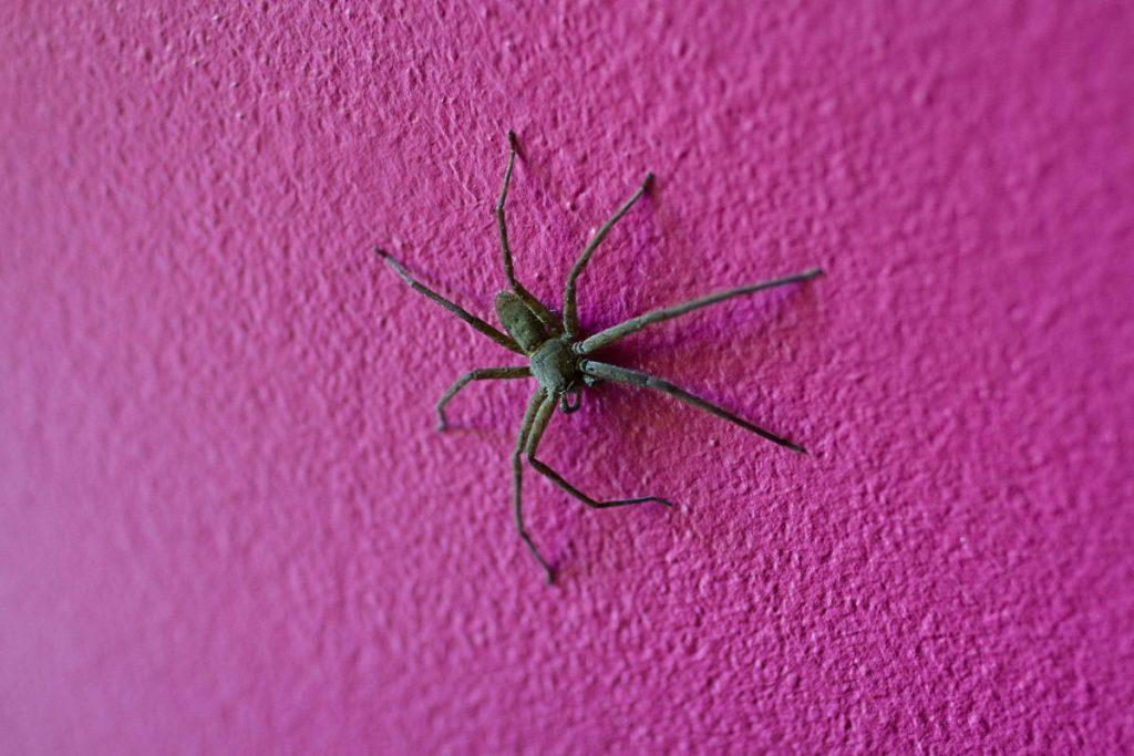 species Huntsman Spider
