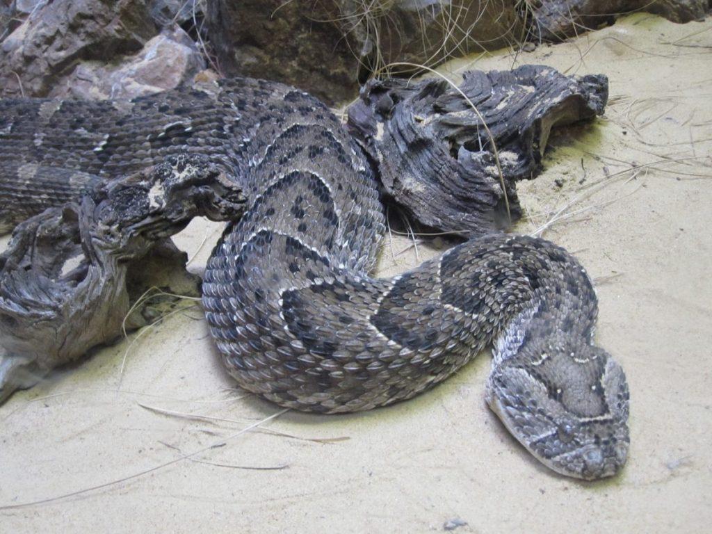 Venomous snakes puff