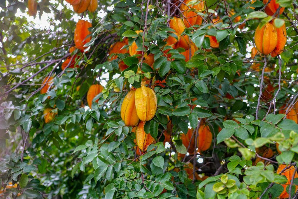 kidneys star fruit