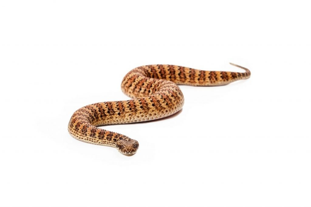 Venomous snakes death adder