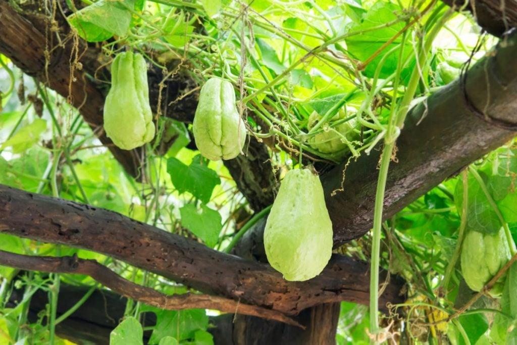 vitamin B chayote squash