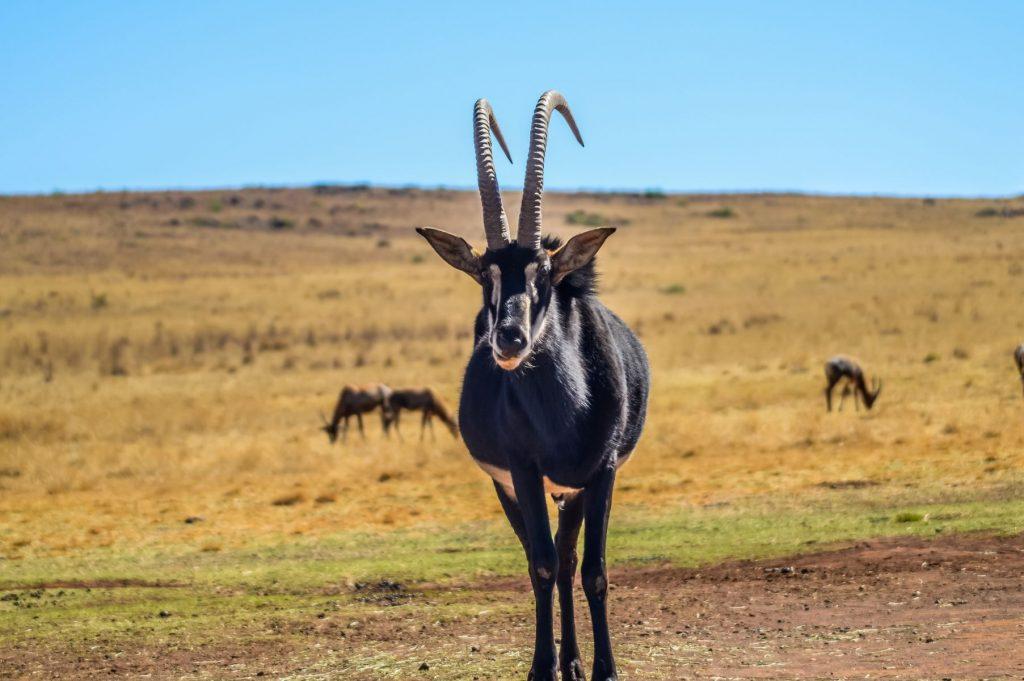 Angolan Sable Antelope