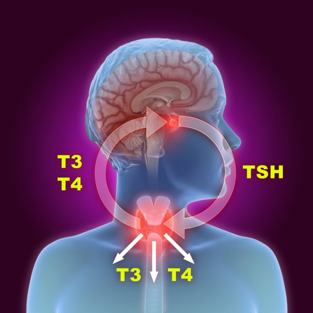 TSH Thyroid Pituitary Gland Hypothalamus