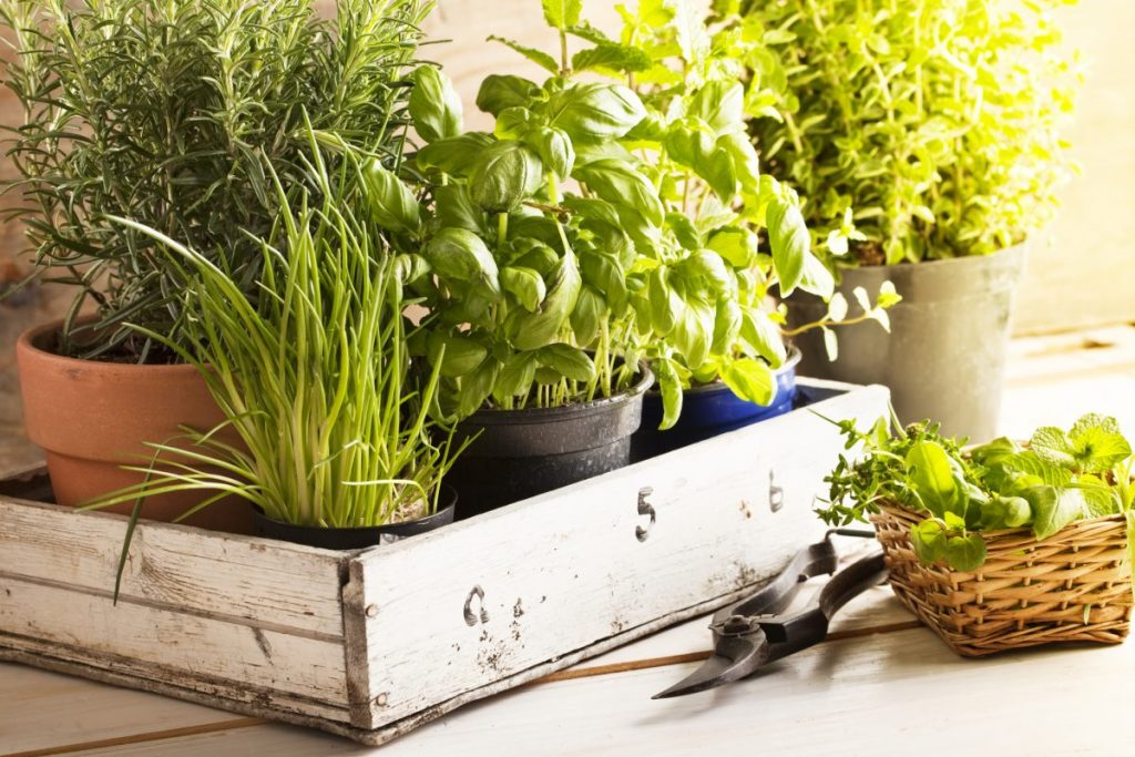 herbs grow